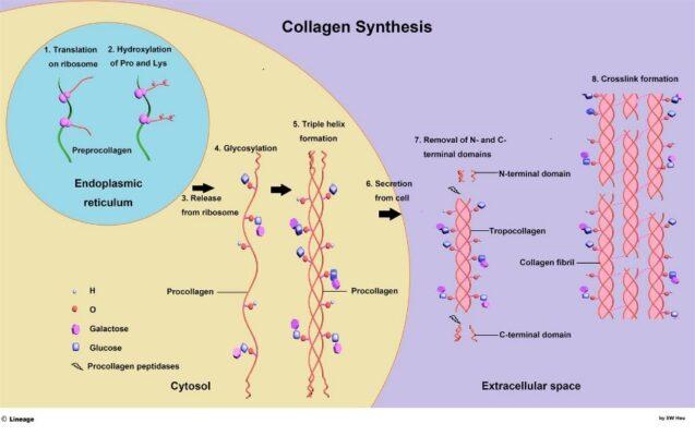 Sinteza kolagena